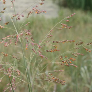 Individual Grass Seed Species