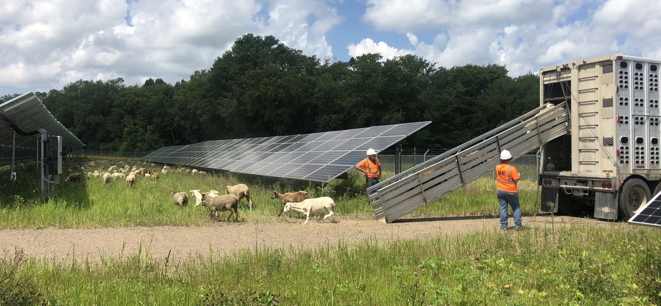 sheep being unloaded at a solar energy site