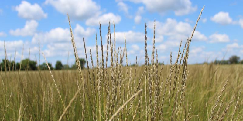 wild grass krenza