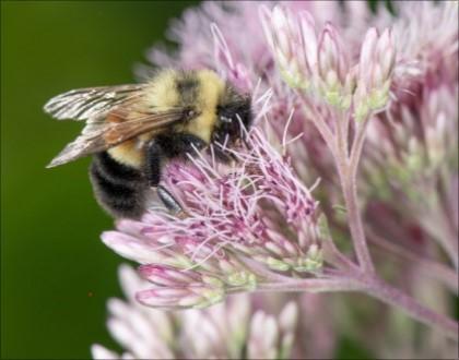 honey bee on wild flower